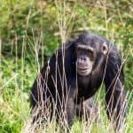 Chimpancé común