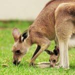 Cría de canguro en el marsupio