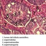Parénquima testicular de jabalí
