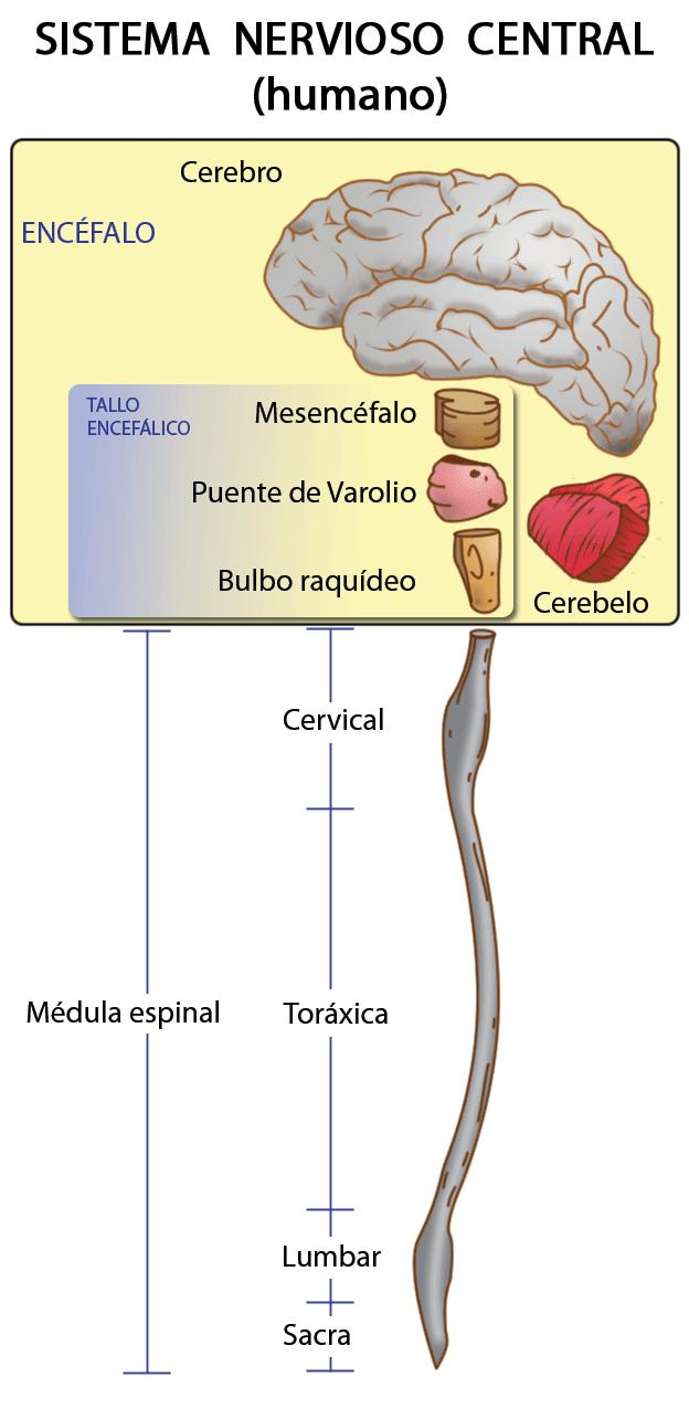 Esquema del Sistema Nervioso Central