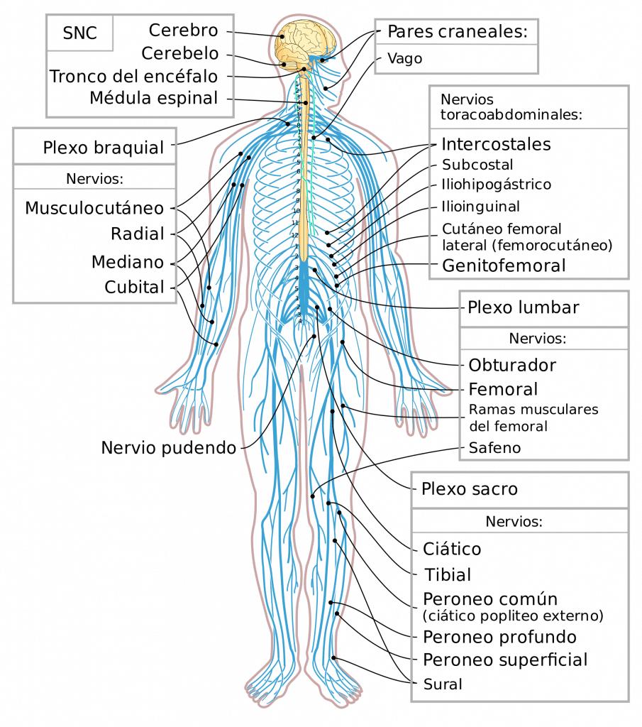 Esquema del Sistema Nervioso humano