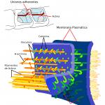 Uniones intercelulares adherentes