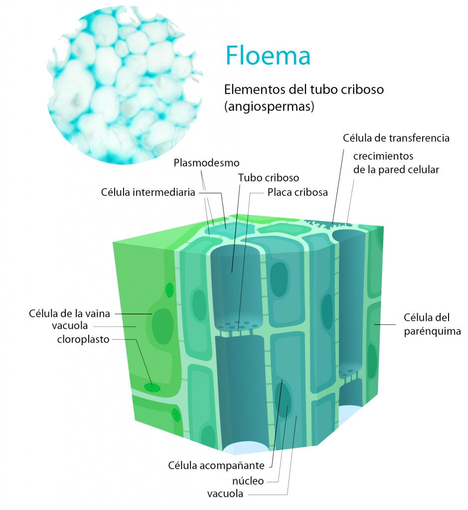 Elementos del floema