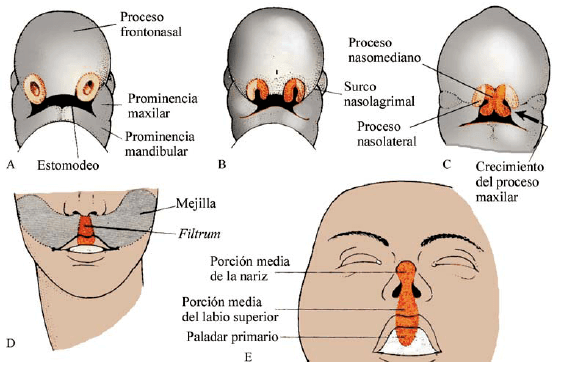 Desarrollo fetal de la cara