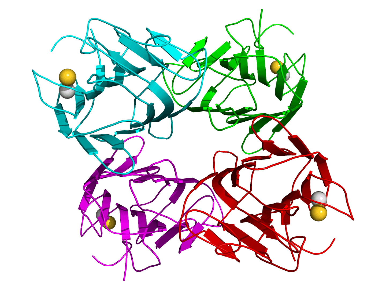 Estructura de la concanavalina A