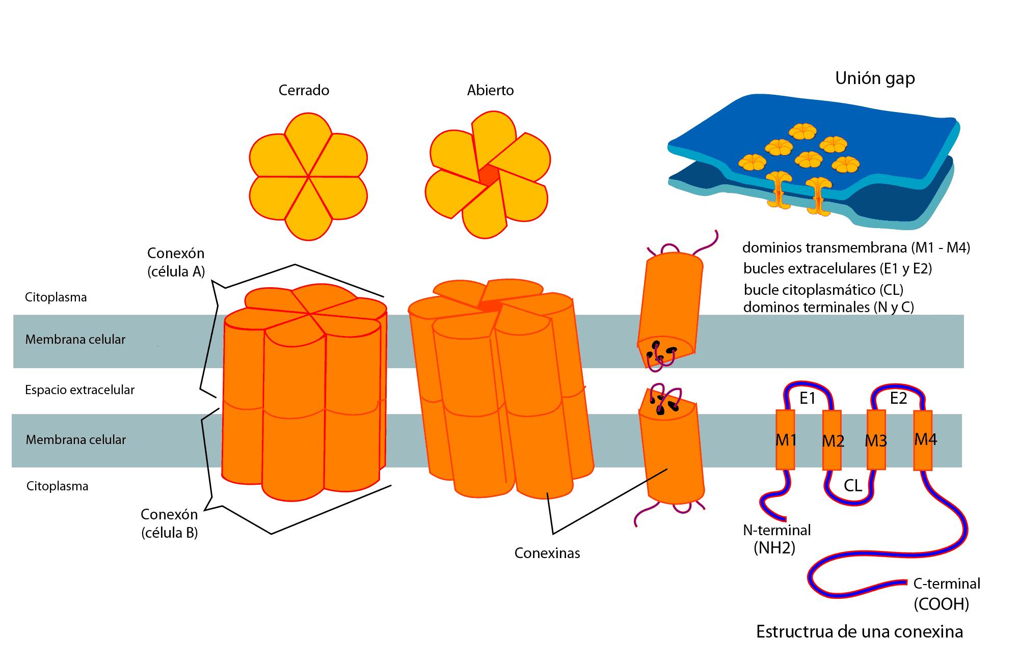 Que Es La Sinapsis Electrica Curiosoando