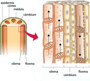 Floema y xilema (dibujo)