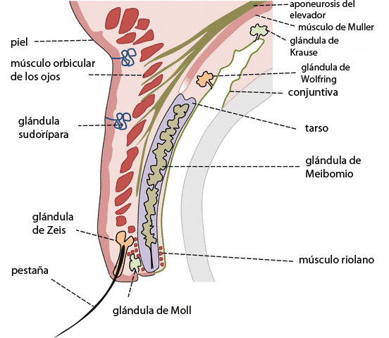Anatomía del párpado