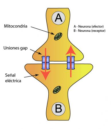 Esquema de una sinapsis eléctrica