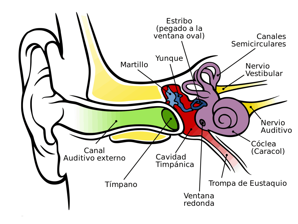 Anatomía del oído humano