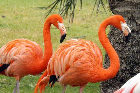 Flamencos caribeños (Phoenicopterus ruber)