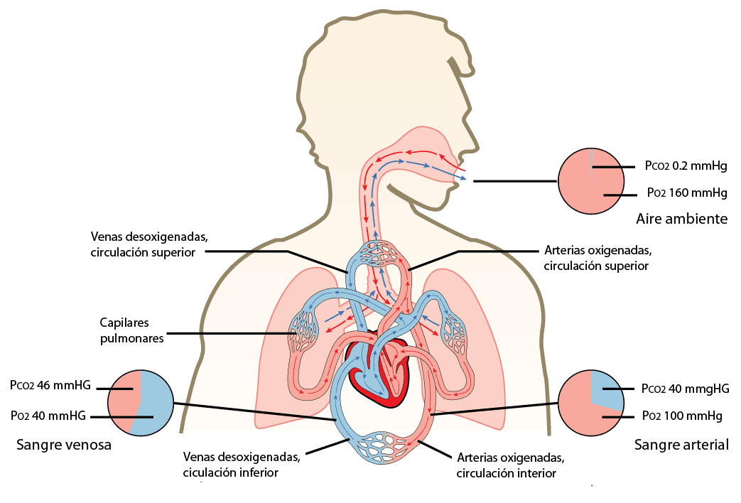 Cómo se absorbe el oxígeno en los pulmones? – Curiosoando