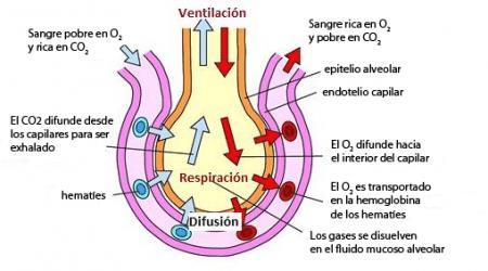 Intercambio de gases en el alvéolo