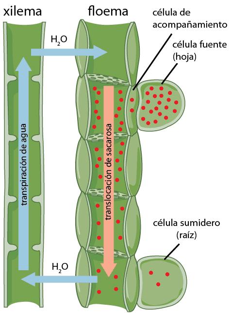 Movimiento del floema y el xilema