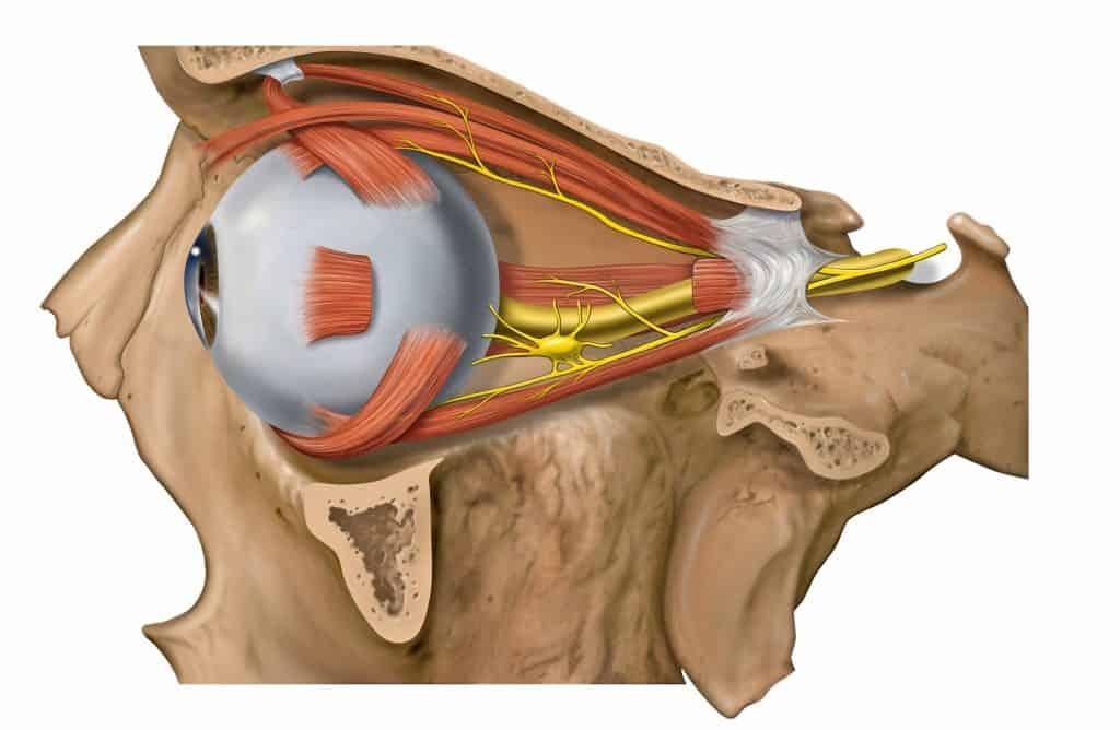 Músculos extrínsecos del globo ocular