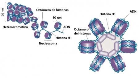 Esquema heterocromatina