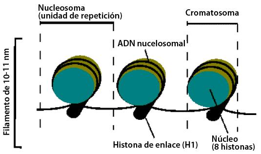 Nucleosoma y cromatosoma