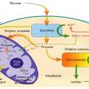 Respiración y fermentación en la célula humana