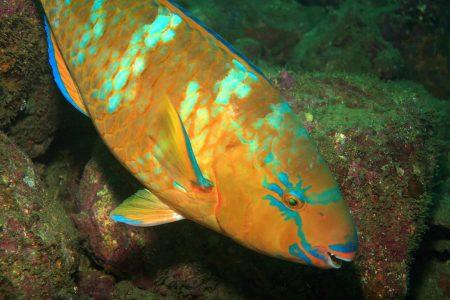 pez loro azul (Scarus ghobban)