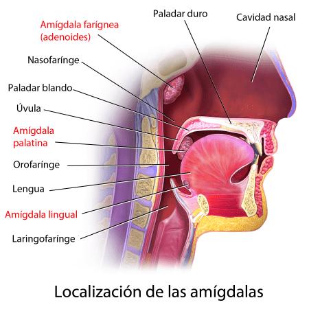 Amígdalas y garganta