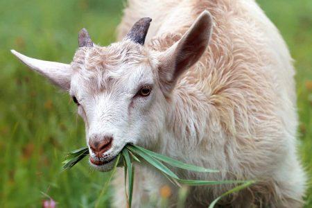 Cabra comiendo hierba