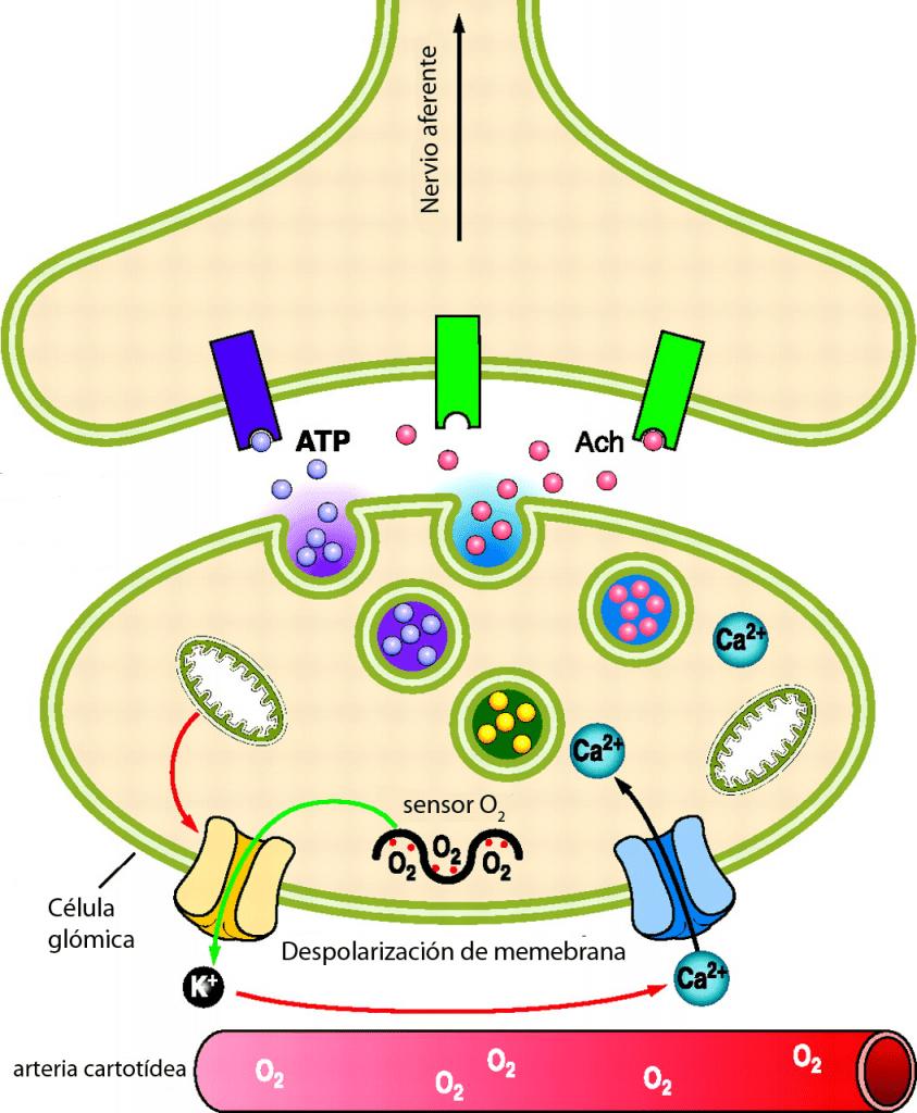 Estimulación célula del glomus