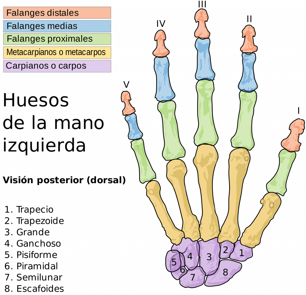 esqueleto manos y muñeca