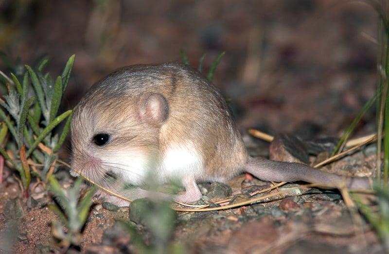 Jerbo pigmeo (Salpingotus crassicauda)