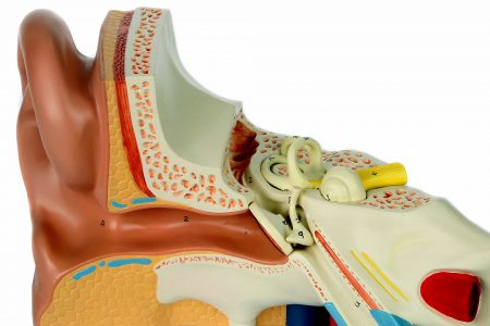 Modelo anatómico del oído
