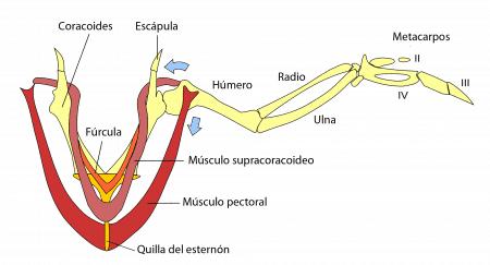 Músculos pectorales de las aves