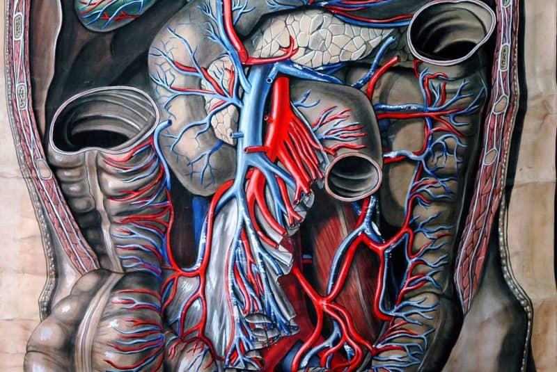 Órganos del abdomen (ilustración)