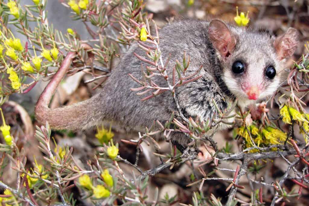 Possum pigmeo del este (Cercartetus nanus)