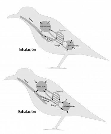Respiración pulmonar en las aves
