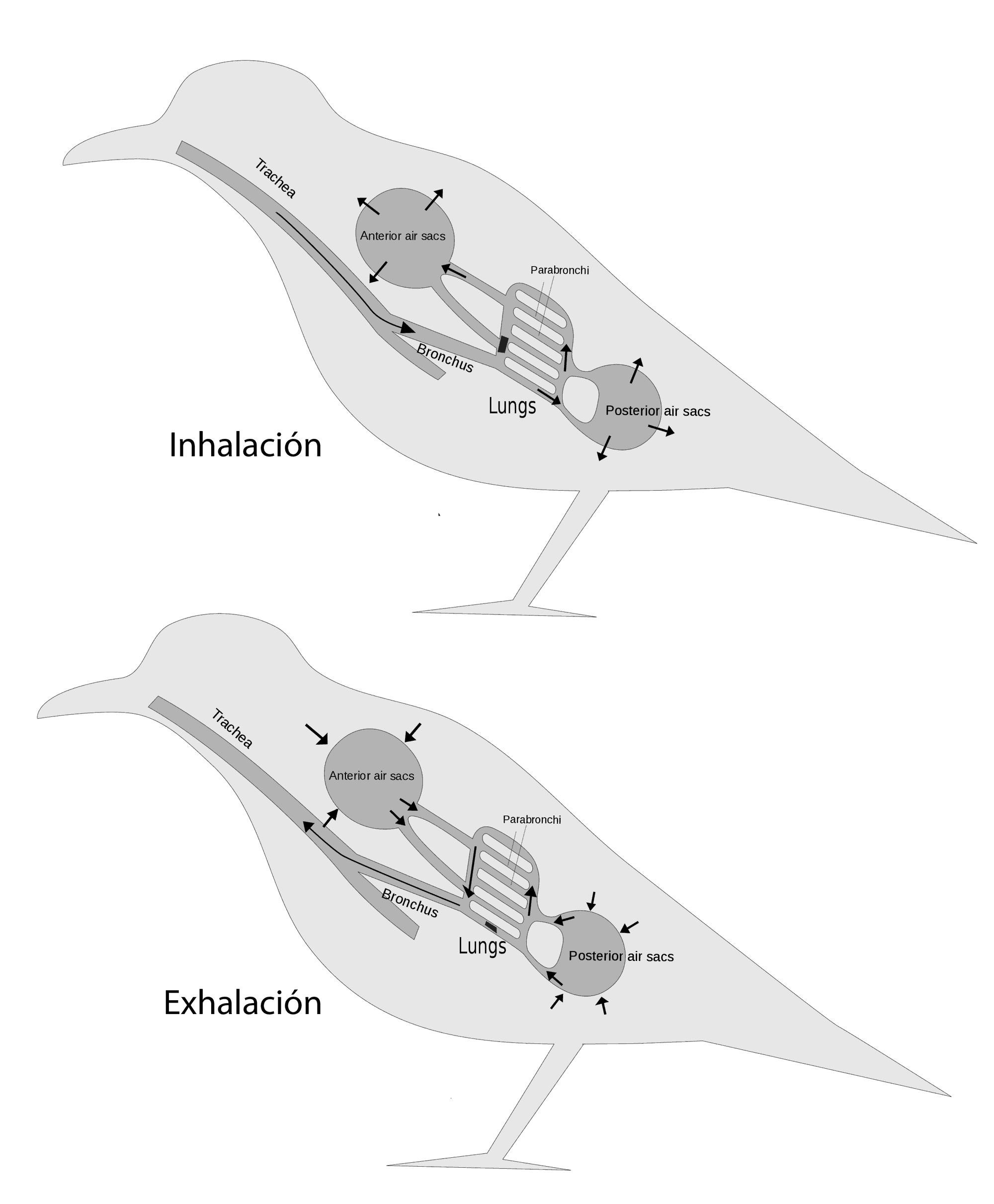 Cómo vuelan los pájaros? – Curiosoando