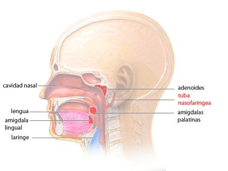 Tuba faringotimpánica, posición lateral