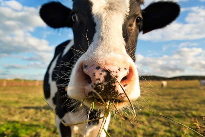 Vaca con hierba en la boca