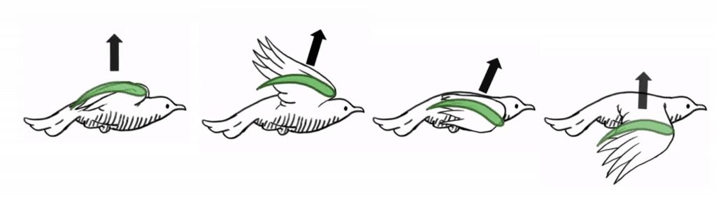 Esquema del vuelo de un pájaro