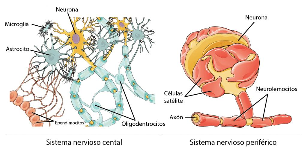 Células gliales en el SNC y en el SNP