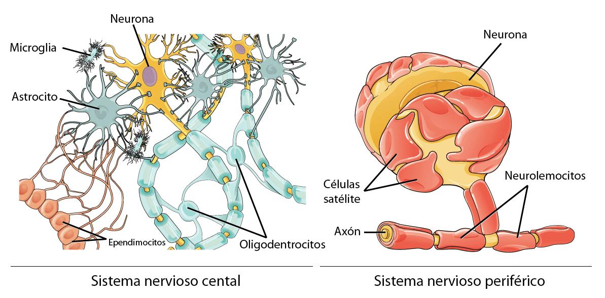 Cuáles Son Las Células Del Sistema Nervioso Curiosoando