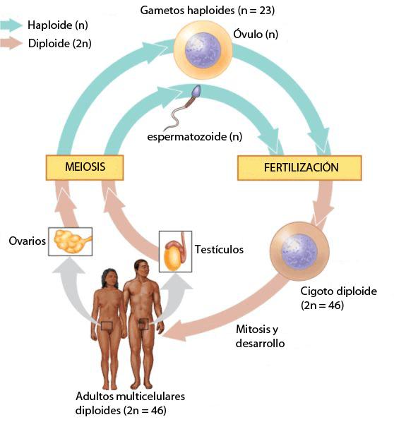 Ciclo de vida humana