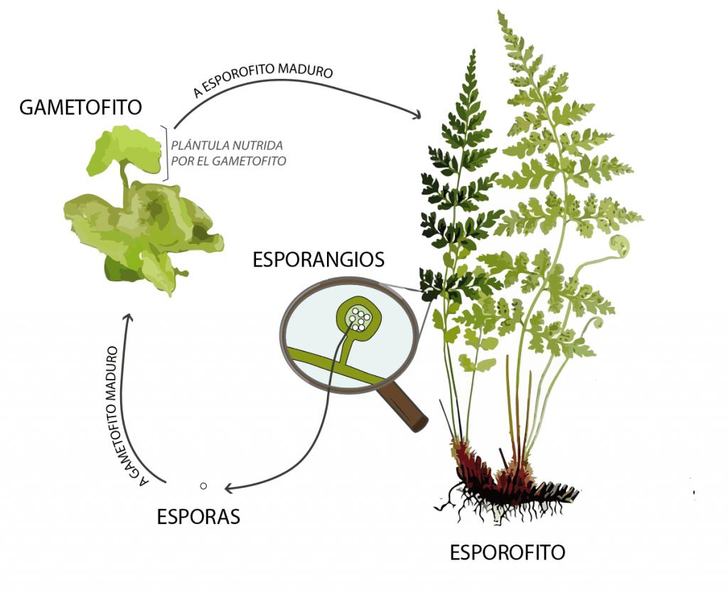 Esporofito - espora - gametofito