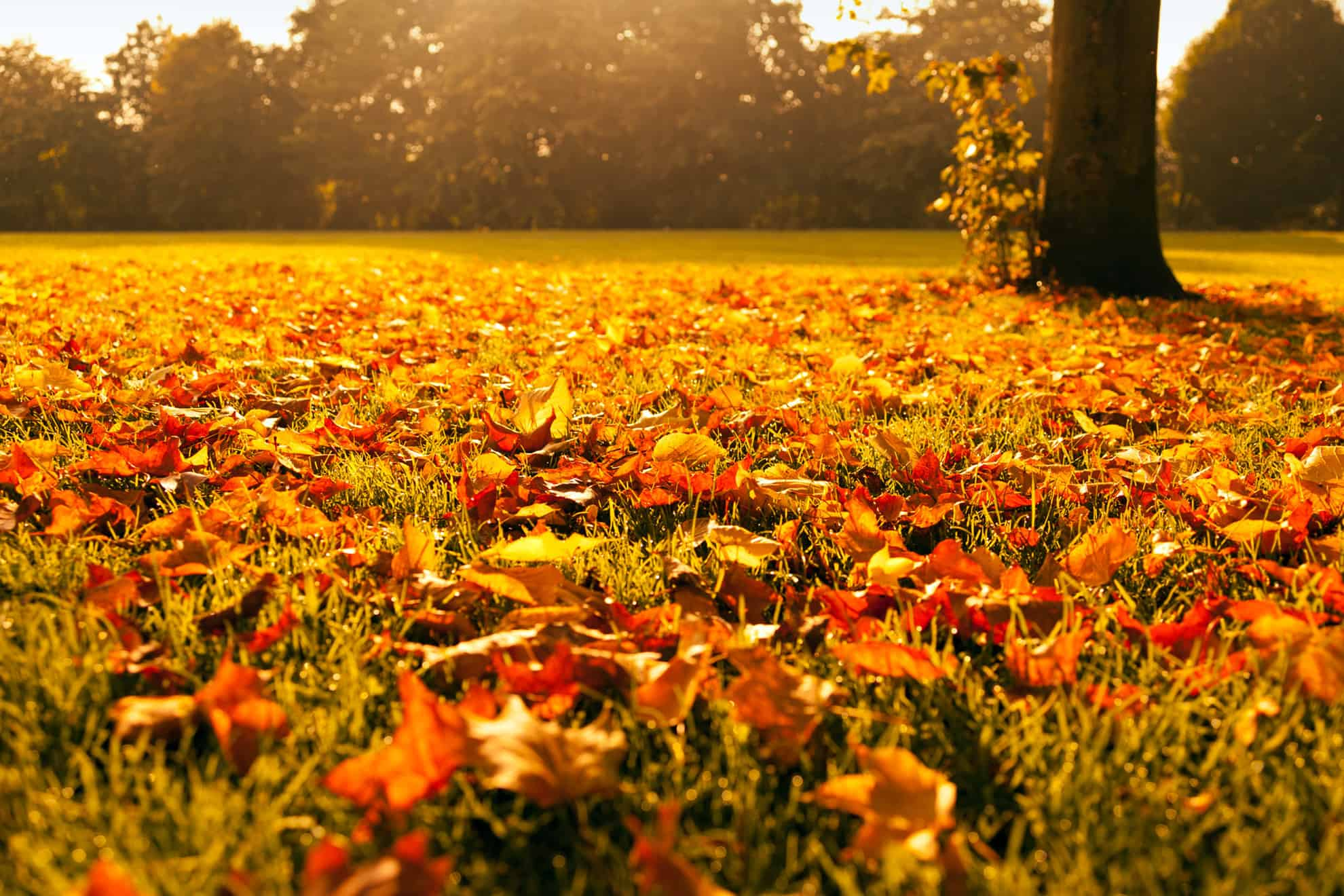 Por qu se caen las hojas de los rboles en oto o for Porque hay arboles de hoja perenne
