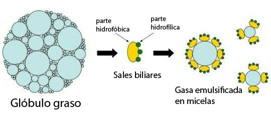 Acción sales biliares
