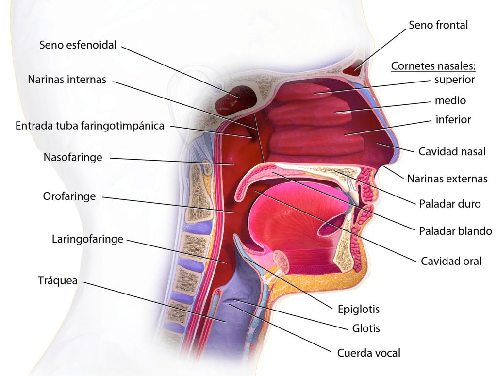 Partes de la faringe y tracto respiratorio superior