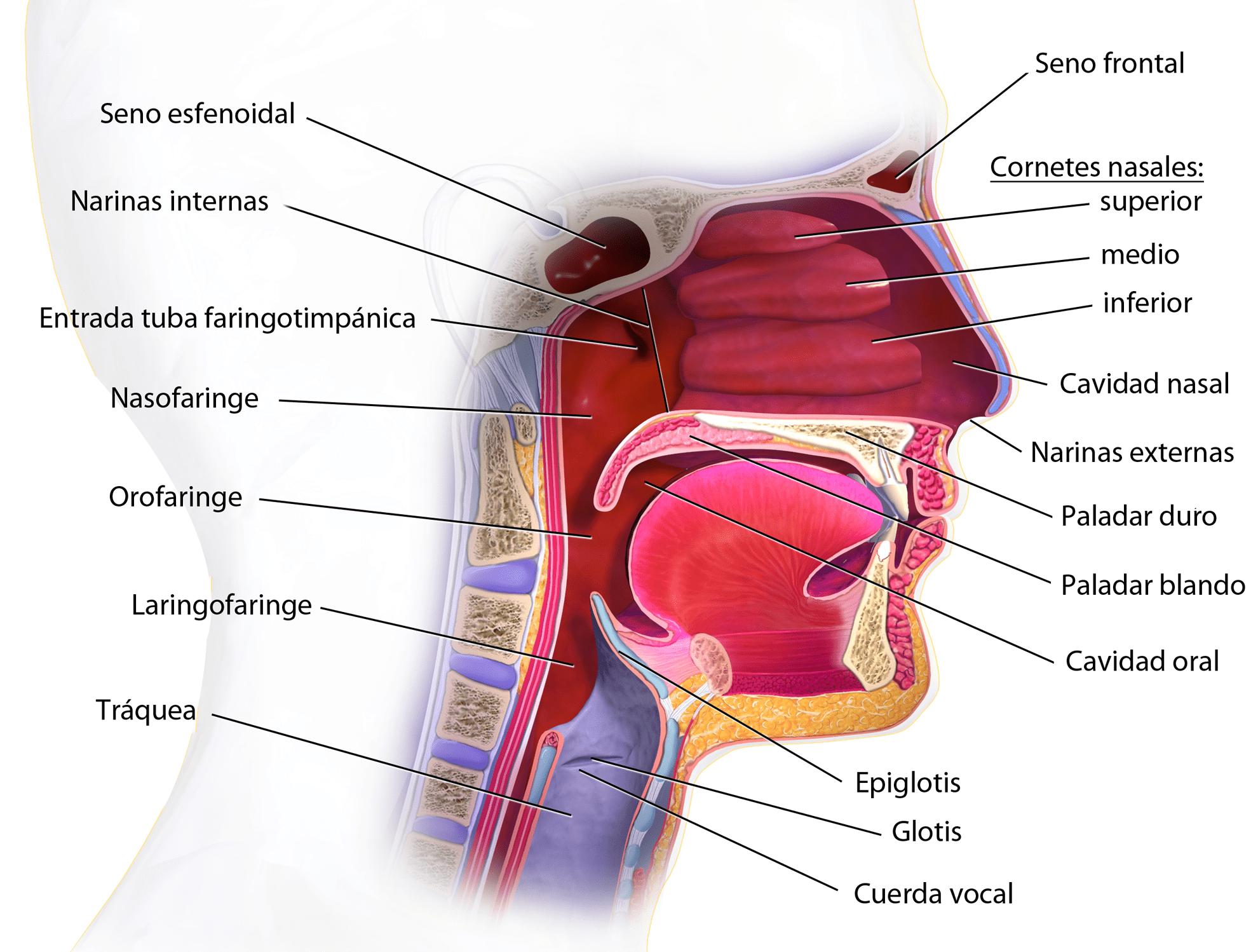 En qué partes se divide la faringe? – Curiosoando