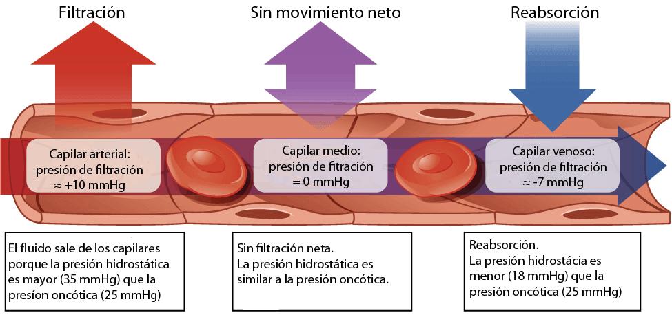 Presión hidrostática y presión oncótica