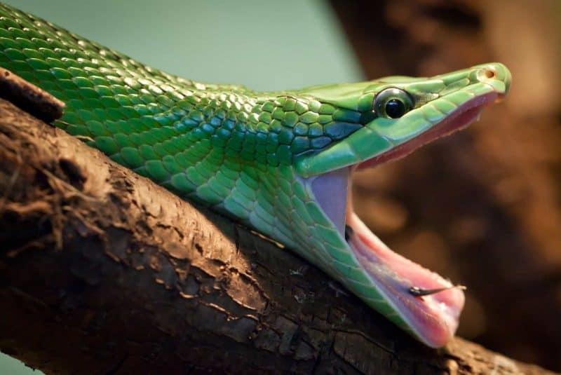 Big mouth serpiente