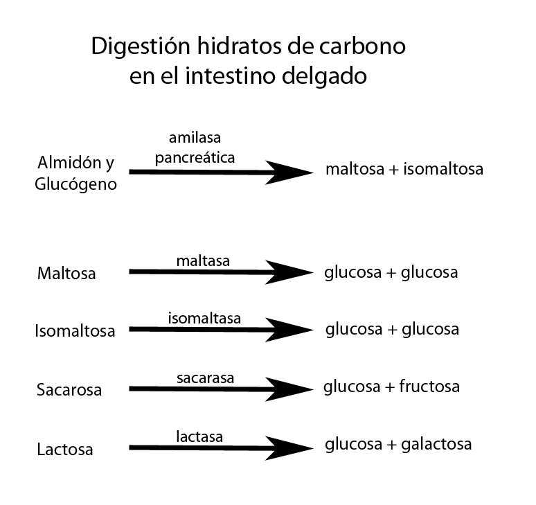 Enzimas digestivas de glúcidos en el intestino delgado