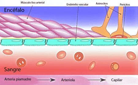Esquema de la barrera hematoencefalica
