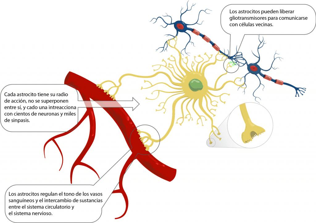 Función de los astrocitos